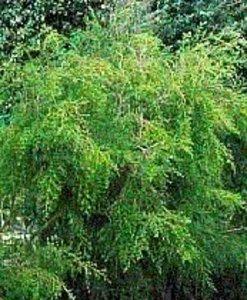 Natural Livings 有機茶樹精油