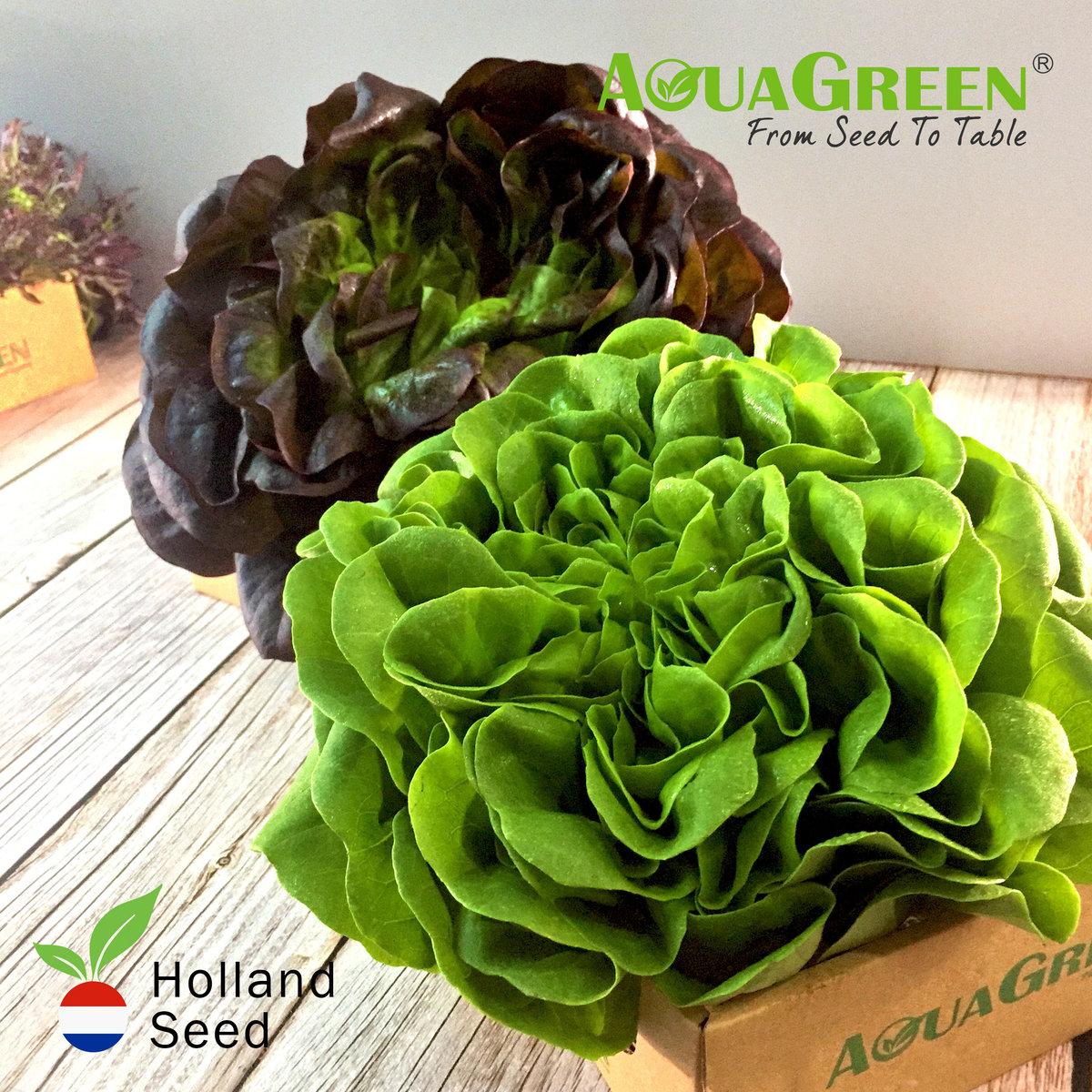 荷蘭種子紅、綠牛油生菜 (200克)