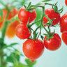 心型蕃茄盆栽