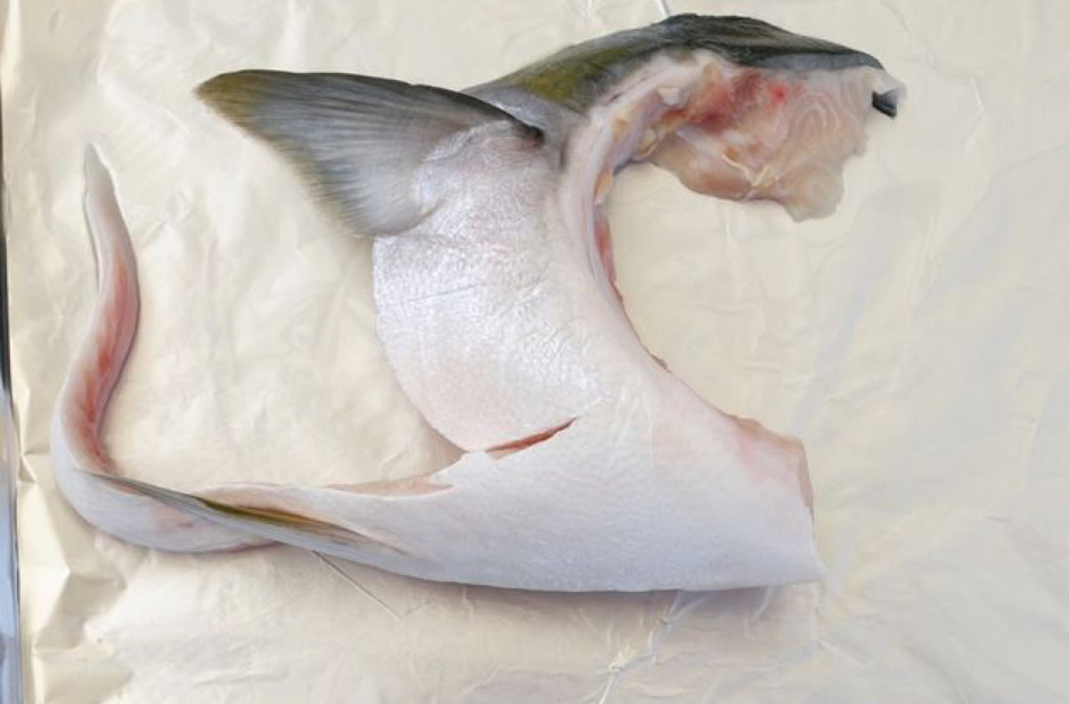 日本特大油甘魚鮫 (2隻)