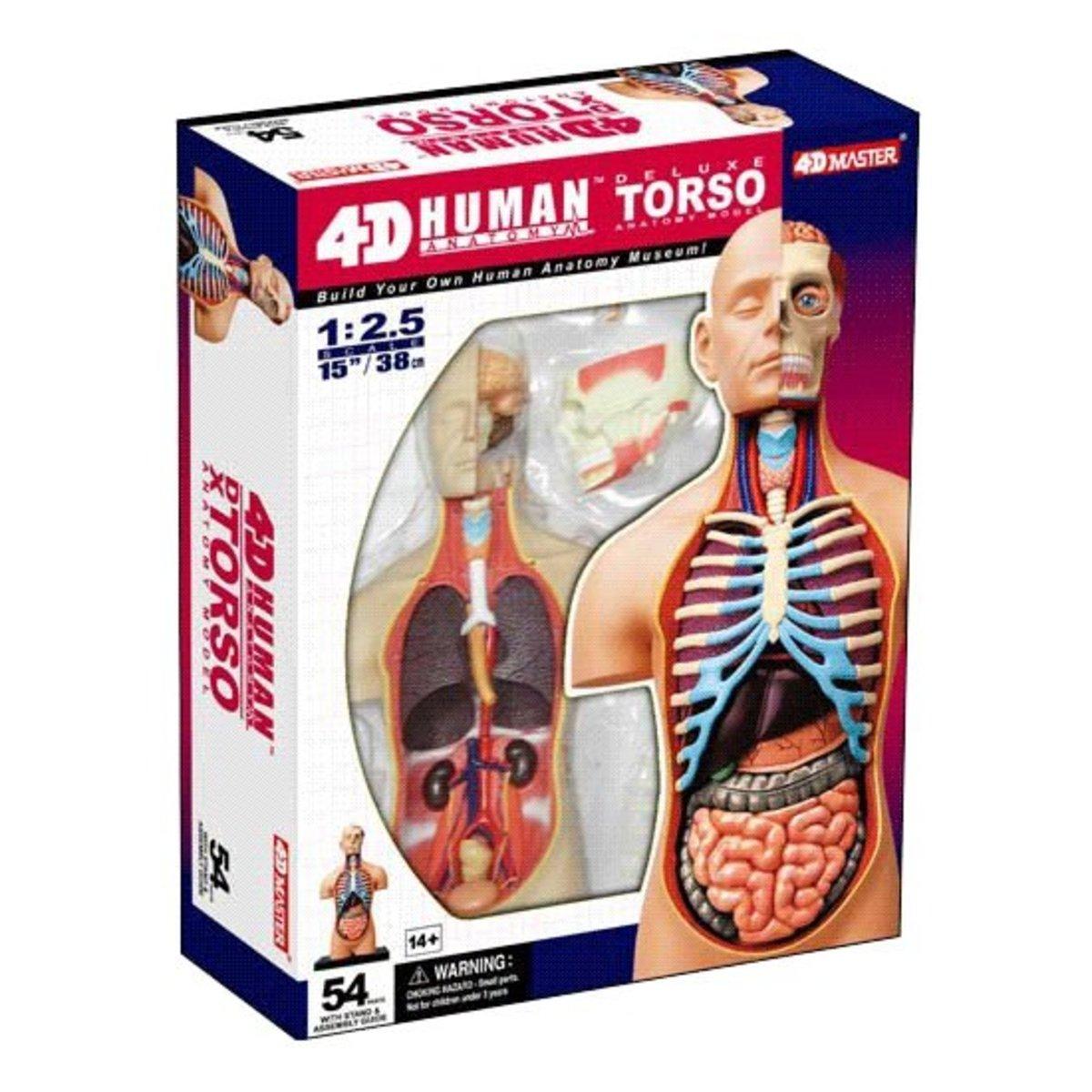 人體解剖模型-15英寸半體人體